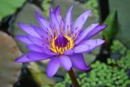 妖艳的紫色睡莲图片_11张
