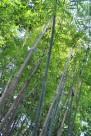 崖州竹植物图片_2张