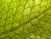 绿叶叶脉图片_20张