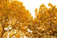 秋天金黄的叶子图片_9张