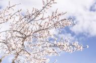 树枝上美丽的樱花图片_13张