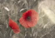 唯美的罂粟花图片_9张