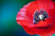 红色的罂粟花图片_13张