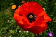 艳丽的红色罂粟花图片_17张