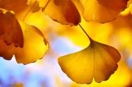 唯美的银杏叶图片_22张