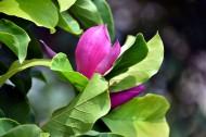 绿叶衬托的紫玉兰图片_12张