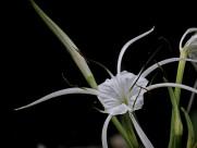 白色蜘蛛兰图片_12张
