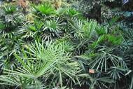 轴榈植物图片_2张