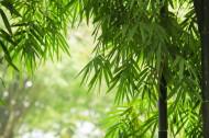 翠绿挺拔的竹子图片_14张