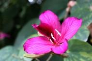 紫荆花图片_19张