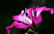 紫荆花图片_11张