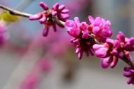 紫荆花图片_10张