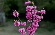白色和紫色紫荆花图片_6张