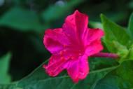 紫茉莉图片_15张