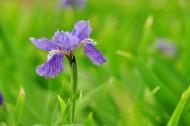 紫色的鸢尾花图片_7张
