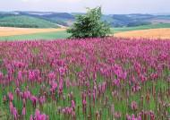 紫色花海图片_13张