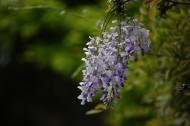 紫藤图片_13张