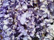 清新的紫藤花图片_14张