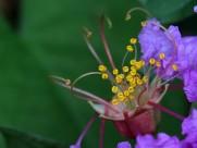 紫薇花蕊微距图片_14张