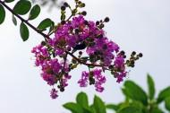 紫薇图片_7张