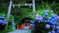 紫阳花图片_8张