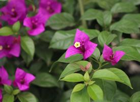 三角梅是由三片苞叶组成的 苞片柔如彩绢
