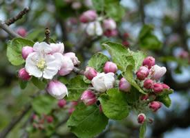 一组清新淡雅带点小粉的苹果花图片欣赏