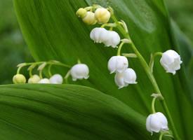 一朵朵密生的小花,像唤起幸福的小铃铛