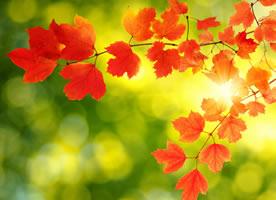 秋天的枫叶好似燃烧着的火球,在阳光下闪闪发光,美丽极了
