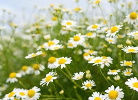 白色雏菊是一种花瓣白色花心是黄色的小花朵