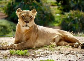 狮子的炯炯有神的眼睛射出犀利而威严的光芒