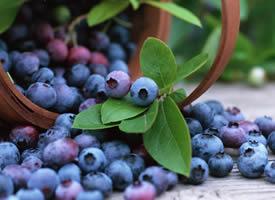 蓝莓像一颗颗蓝宝石 吃在嘴里酸酸甜甜的