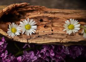 一组清新唯美代表着纯洁大方的白色雏菊图片