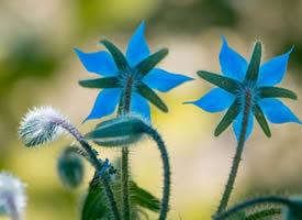 琉璃苣是一种强壮的、每年生的草本植物