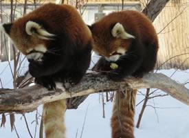 円山动物园里总是形影不离的两只小能苗円実和ギン~