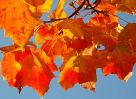 秋天的枫叶好似燃烧着的火球,在阳光下闪闪发光