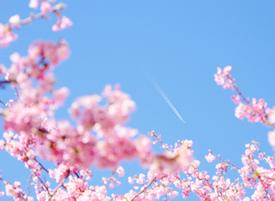 樱花香味很淡很淡,象某些女孩子走过的淡淡的香
