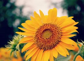 一组向日葵黄艳艳的花瓣显得更加明媚鲜亮了