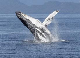 一组大型哺乳类动物鲸鱼高清图片