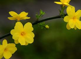迎春花绽开了小小的惹人怜惜的黄色小花