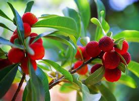挂在树上超级新鲜的杨梅图片欣赏