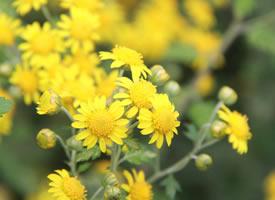 菊花各有特色,有的秀丽淡雅,有的鲜艳夺目