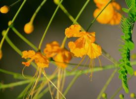 金凤花有四片薄薄的黄澄澄的花瓣十分的精致