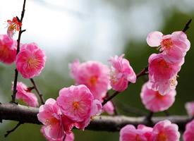 梅花寒凝大地,它顽强地开出一朵朵美丽的花