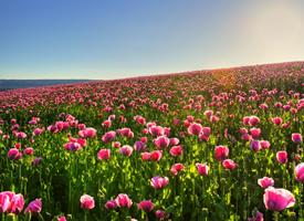 一组特别唯美罂粟花花海图片欣赏