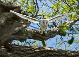 一组谷仓霸气的猫头鹰图片欣赏