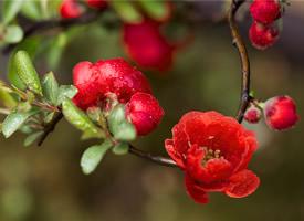 唯美雨后红色艳丽的海棠高清图片欣赏
