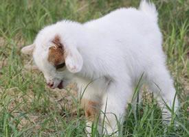 浑身的白色细毛那么洁白、柔软的小羊