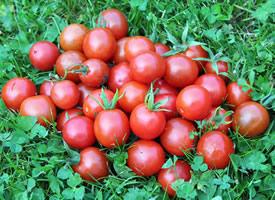 一个个的番茄水灵灵的,像小姑娘生气时撅起的小嘴