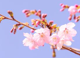 浪漫樱花唯美高清桌面壁纸